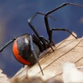 zwarte weduwe